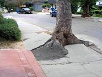 Tree Creating a Sidewalk Trip Hazard
